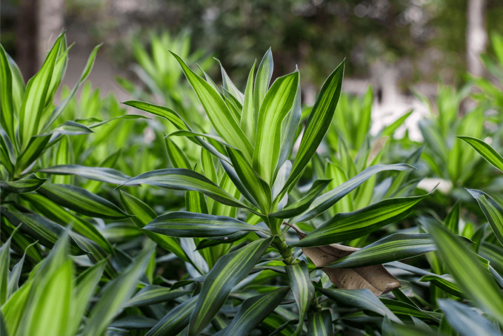 Cornstalk-dracaena with lush leaves