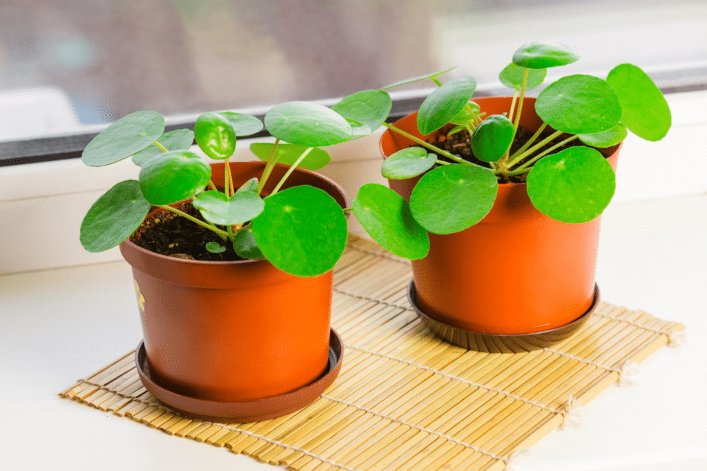 Pilea-peperomioides in a red pot