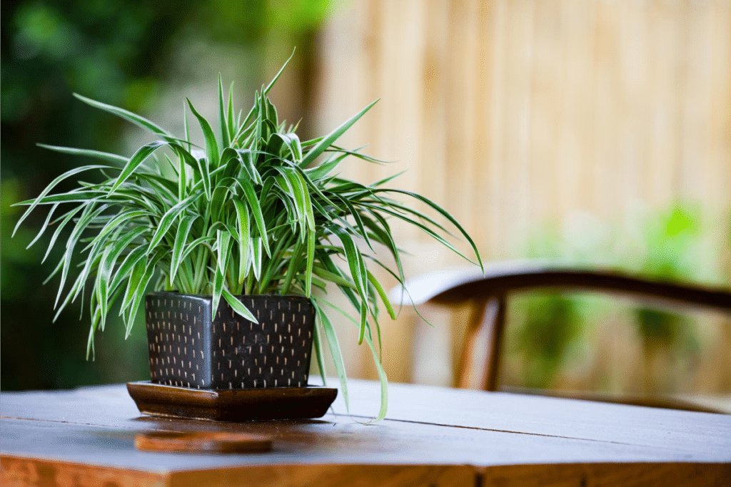 spider plant in a black pot